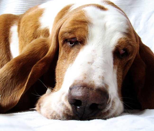 Basset-hound-3